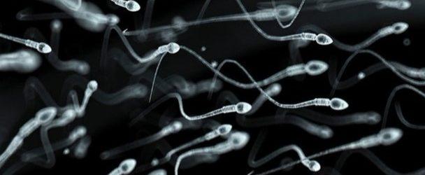 spermatozoïdes